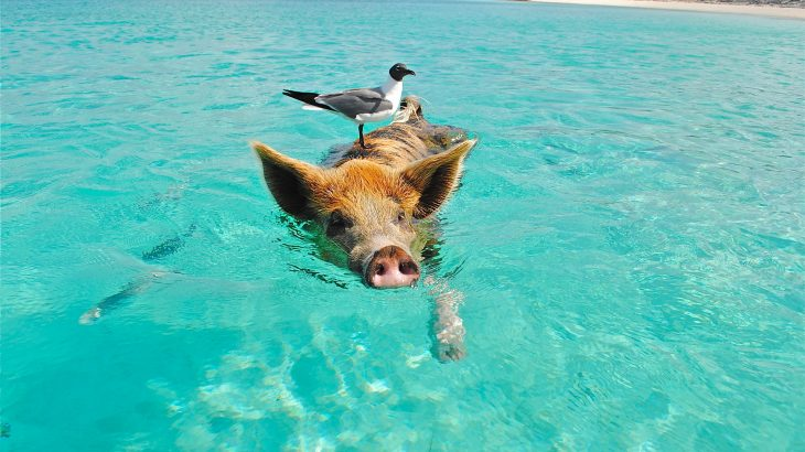 swimming-pigs-staniel-cay