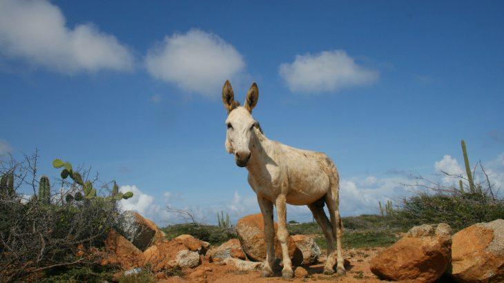 donkey-aruba