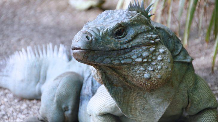 blue-iguana