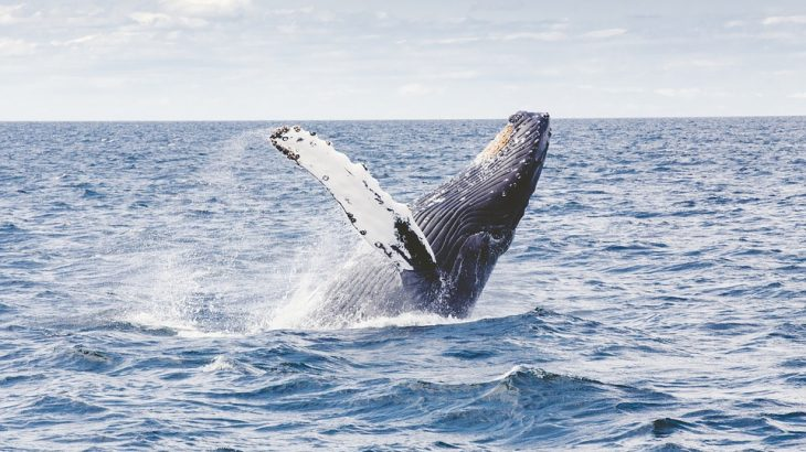 humback-whale-watching-in-turks-and-caicos