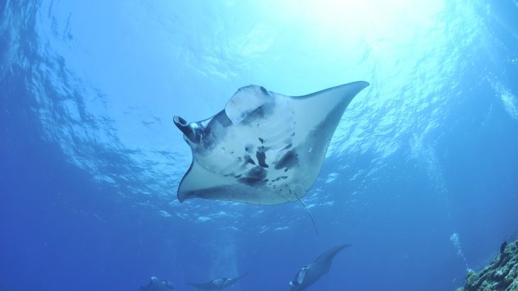 manta-ray-swimming-beach-vacation-excursion