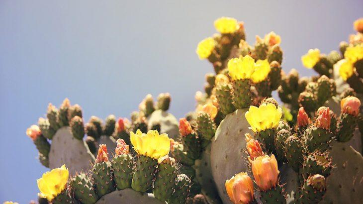 prickly-pear-cactuses-aruba