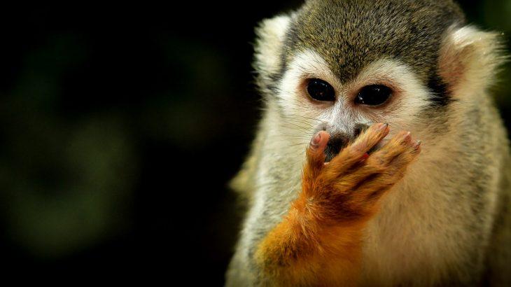 close-up-squirrel-monkey