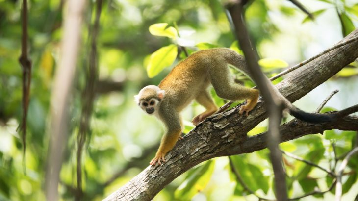 squirrel-monkey-climb-tree