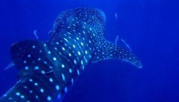 whale-shark-ocean-blue