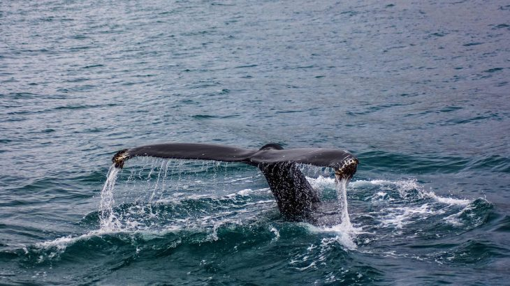 northern-atlantic-humpback-whale-tail