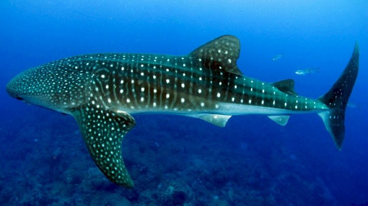 whale-shark-swimming-mexico