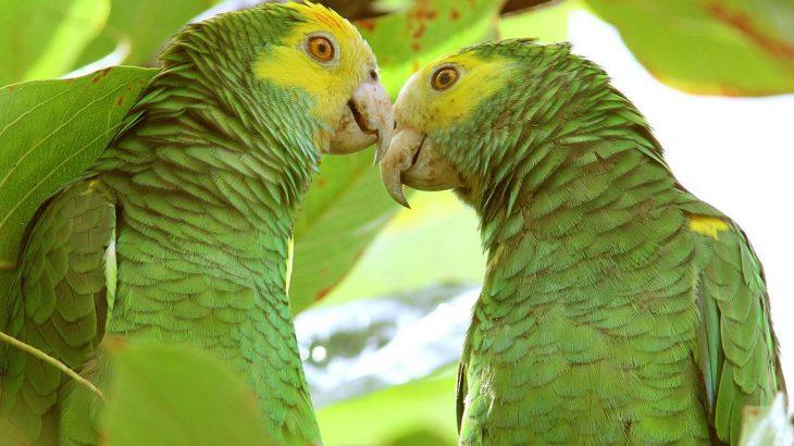 green-parrots-bonaire-caribbean