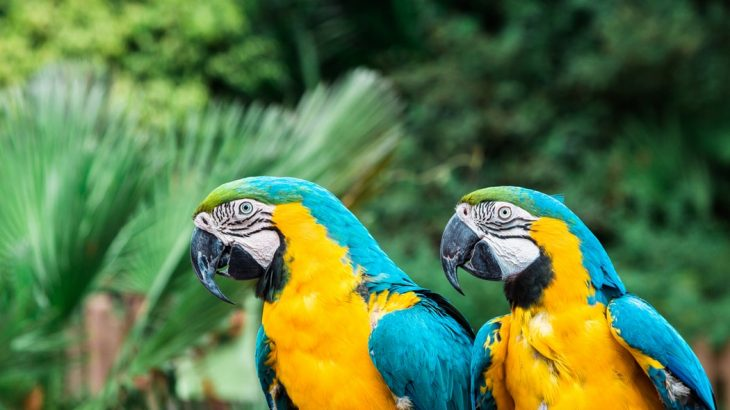 parrots-trees-blue-yellow