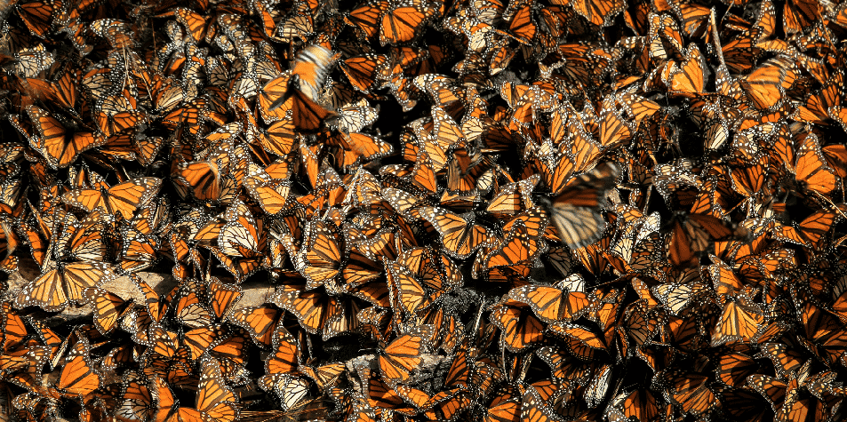 thousands-monarch-butterflies-mexico