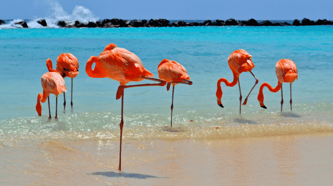 flamingos-beach-aruba