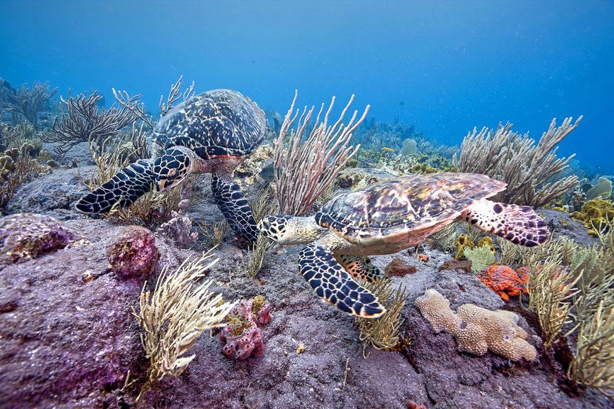 hawksbill-turtles-tent-reef-saba-island