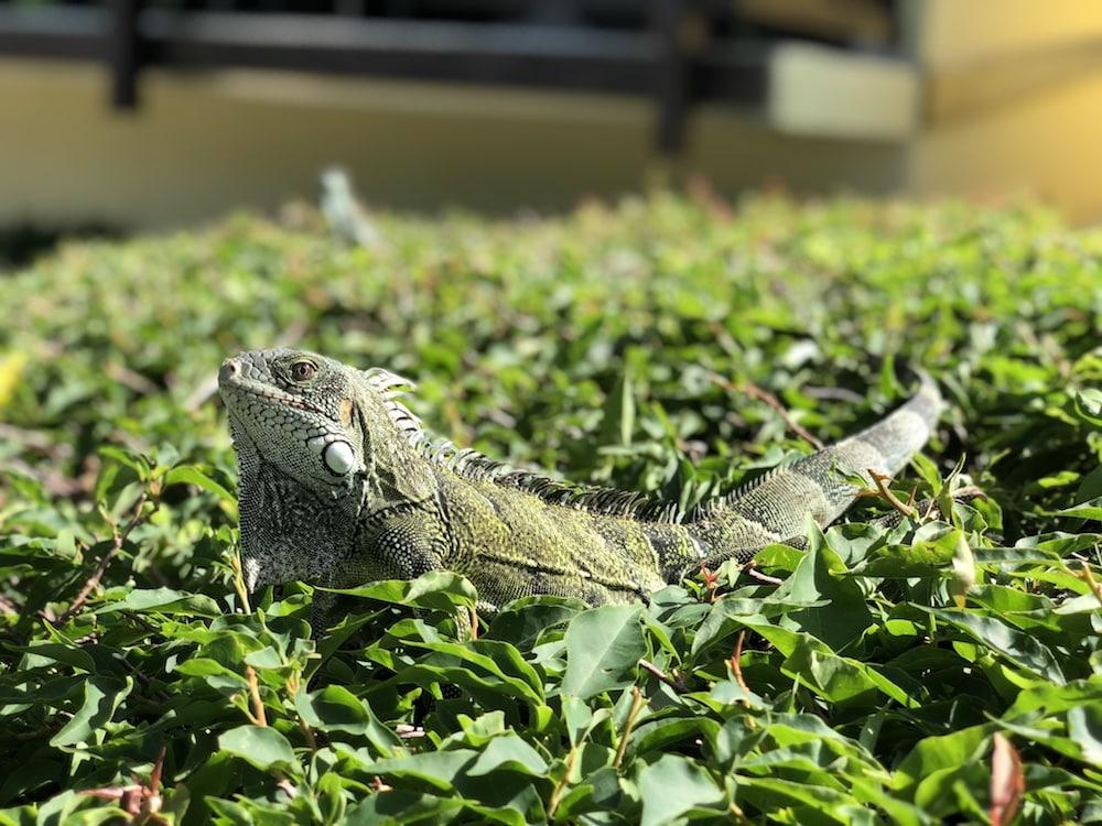 Iguana-Curaçao
