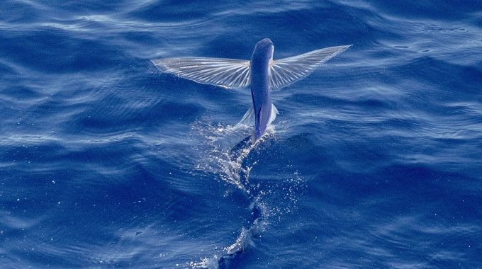 flying-fish-blue-water