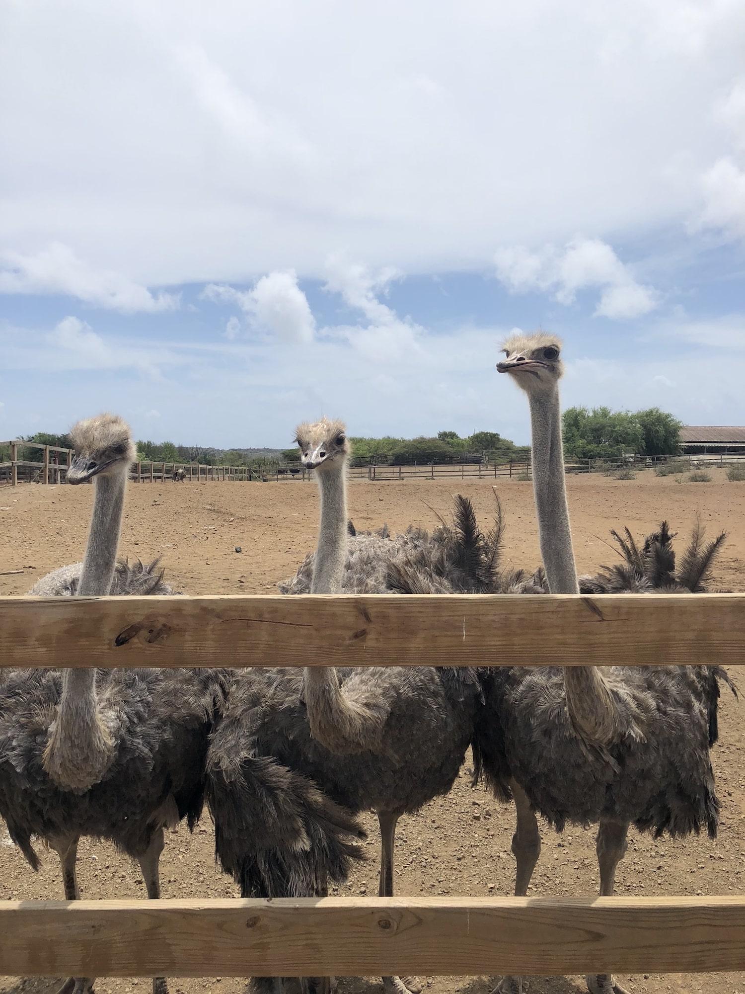 Curaçao-Ostrich-Farm