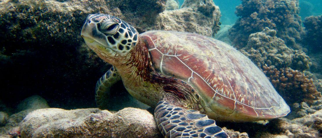 green-turtle-nevis