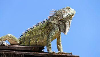 iguana-curaca