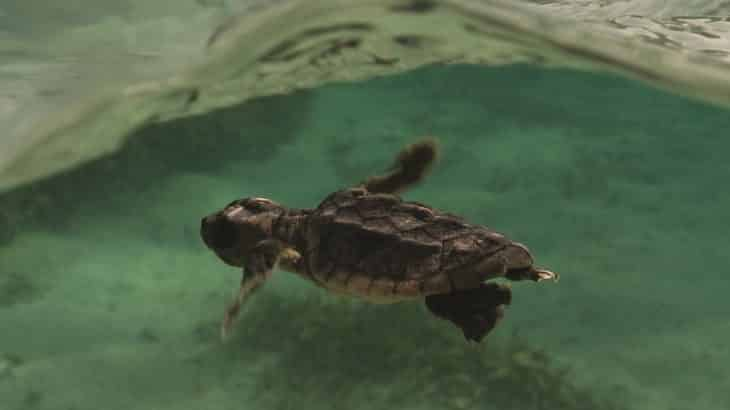 baby-sea-turtle-swimming-green-water