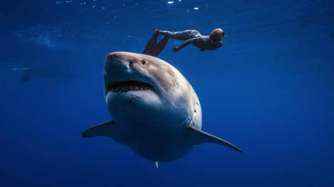 woman-swimming-over-great-white-shark
