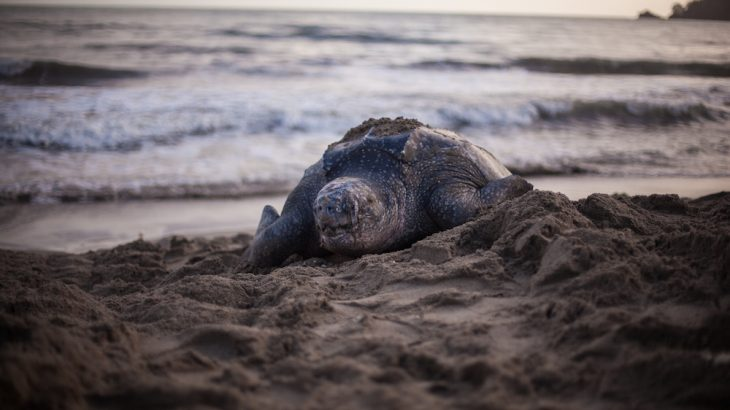 leatherback-turtle-grand-riviere-beach-trinidad-tobago