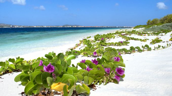 White beach in Bonaire with beautiful purple and green flowers growing along sand and blue ocean in the background