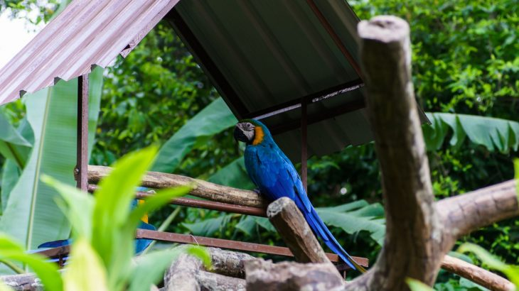 A blue Macaw bird sitting on a branch underneath a tin roof in Adastra Zoo in Nassau, Bahamas