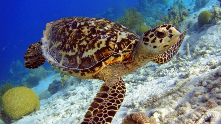 hawksbill-turtle-sightings-champagne-reef-dominica