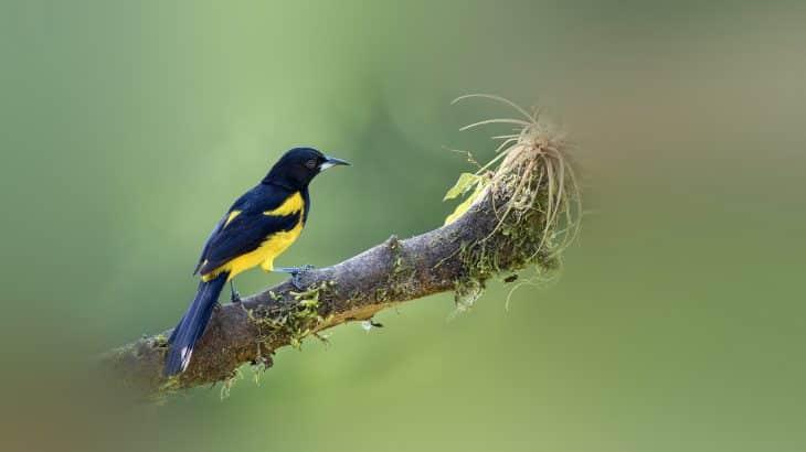 bahama-oriole-bird-birdwatching-andros-island