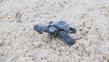 Olive Ridley hatchling in sand on beach