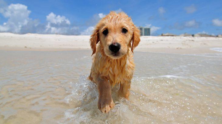 golden-retriever-puppy-dog-beach