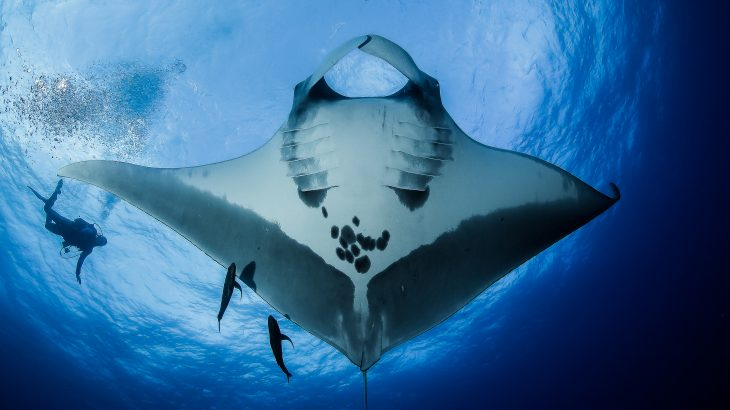 Giant Manta rays in the Caribbean