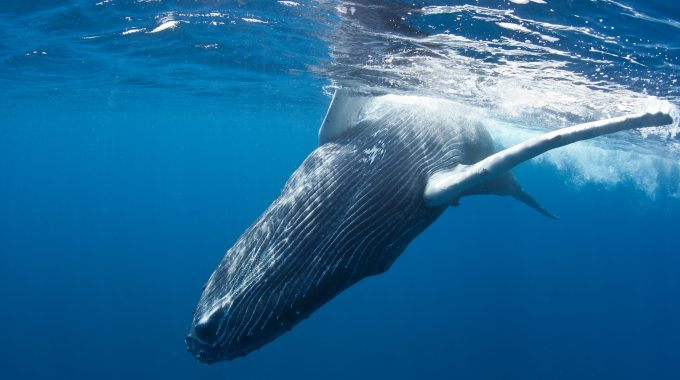 humpback-whales-in-turks-and-caicos